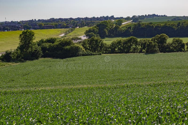 Rolling field of Young corn field somewhere in Omaha Nebraska royalty free stock images
