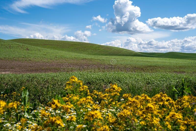 Rolling Green Farmland Hills of the Palouse we wschodnim stanie Waszyngton. Żółte dzikie kwiaty rozmazane na pierwszym planie obraz royalty free