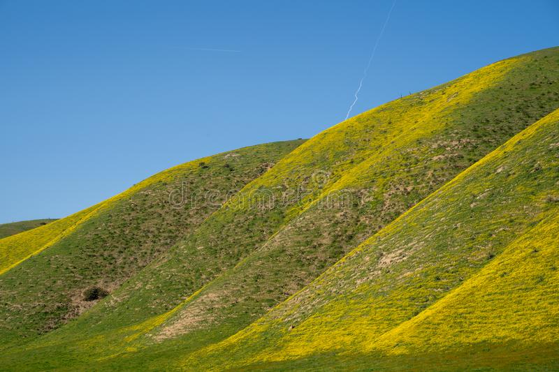 Rolling hills of Carrizo Plain National Monument are covered in yellow wildflowers hillside daisies during the California royalty free stock photo