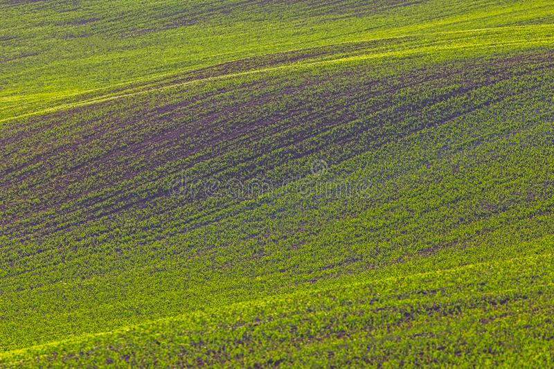 Rolling hills of green wheat fields. Amazing fairy minimalistic landscape with waves hills, rolling hills. Abstract. Nature background. Lithuania, Europe stock image