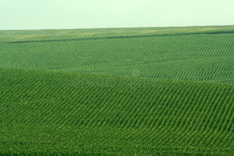 Rolling hills, soybean fields royalty free stock image