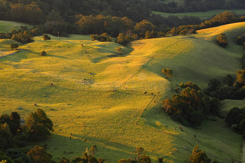 Landscape rolling hills with cows by sunset in Australian countryside royalty free stock photography