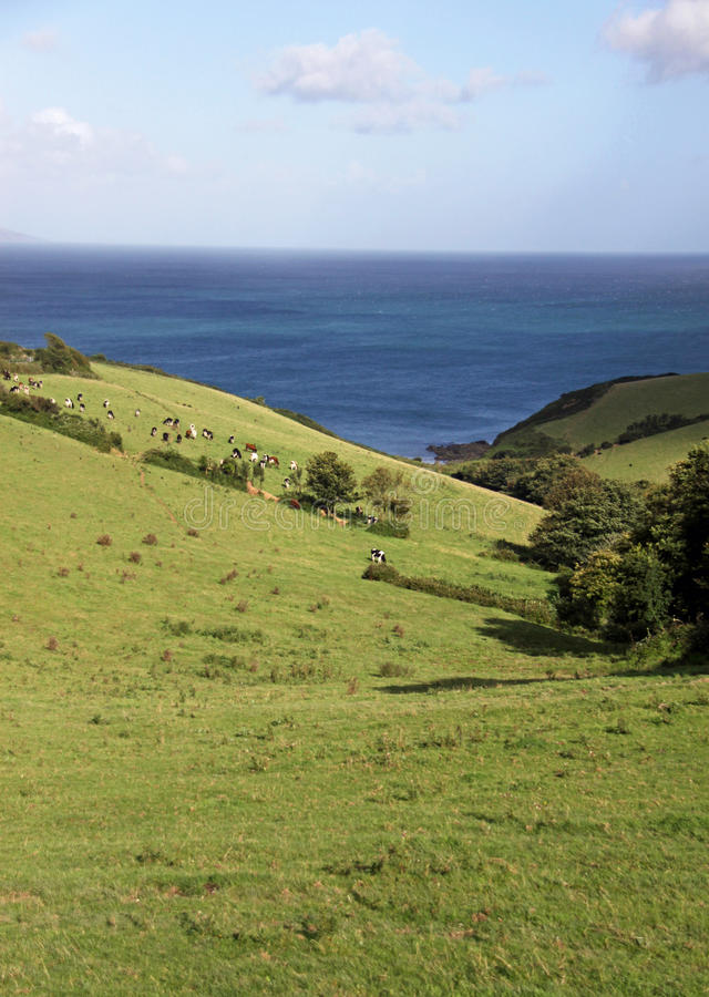 Rolling Hills verte, mer bleue et vaches photographie stock