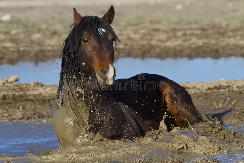 Rolling In The Mud. Wild Horse rolling in the mud to stay cool stock photo