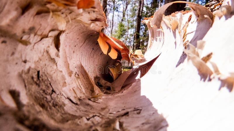 Rollo de la corteza de árbol de abedul vista del interior imagenes de archivo
