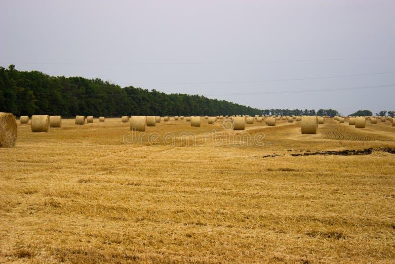 Rollos amarillos de la paja que permanecen en el campo después de cosechar trigo contra un cielo y una correa gris-azules del bos imágenes de archivo libres de regalías