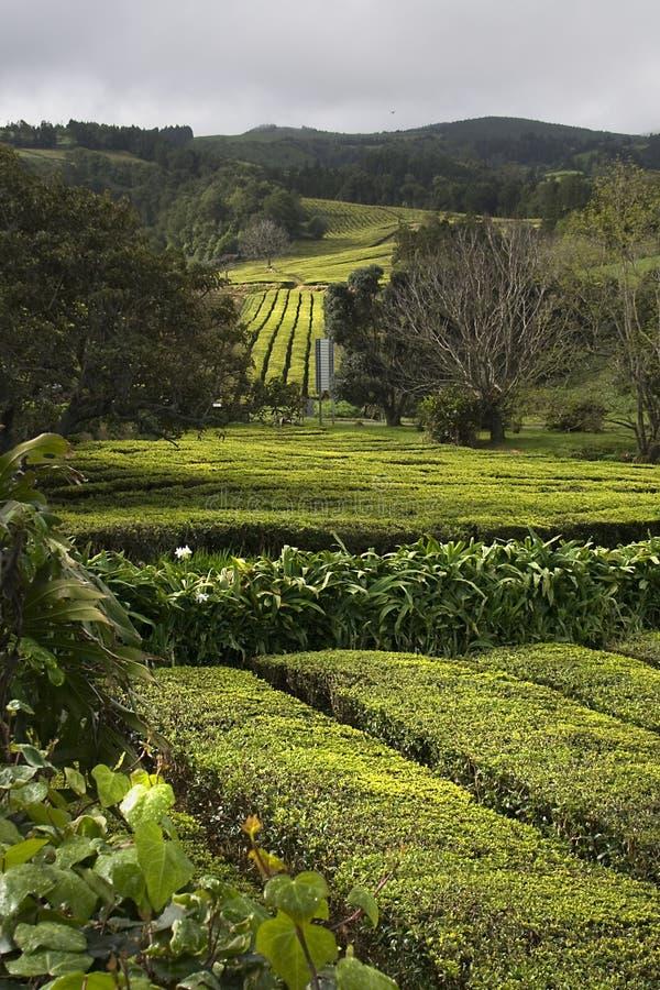 rolna herbata zdjęcia royalty free