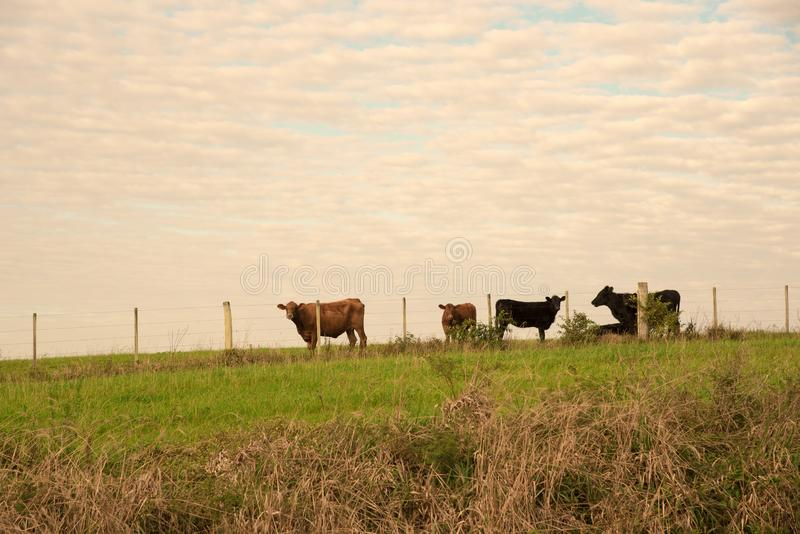 Rolne krowy 02 i fotografia royalty free