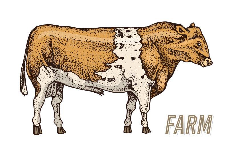 Rolni bydło byk lub krowa naturalny mleko i mięso Różni trakeny Rolny zwierze domowy Grawerujący ręka rysujący monochrom royalty ilustracja