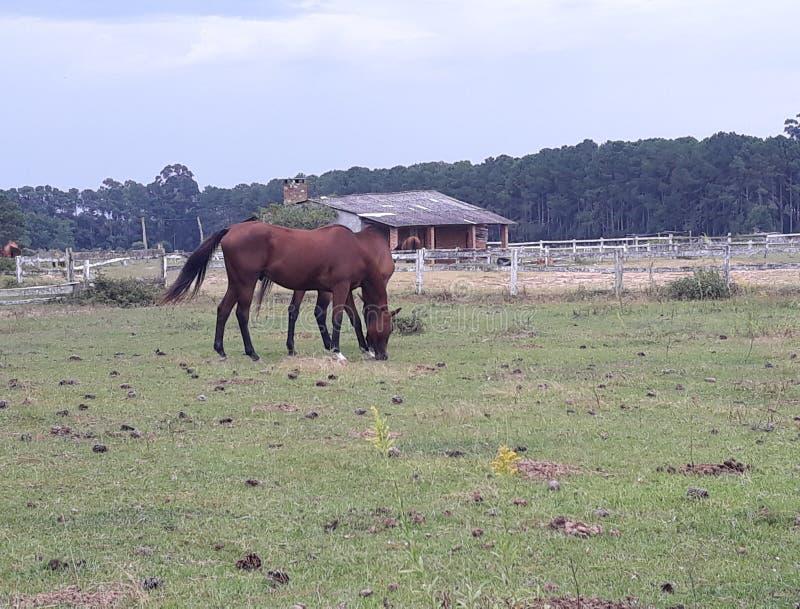 rolni pastwiskowi konie obrazy royalty free