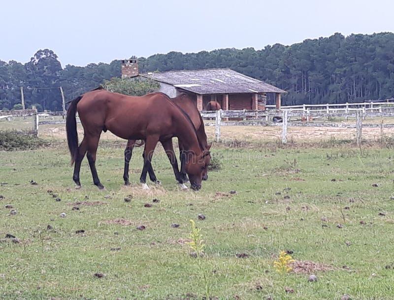rolni pastwiskowi konie zdjęcia royalty free
