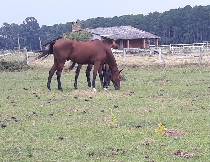 rolni pastwiskowi konie fotografia royalty free