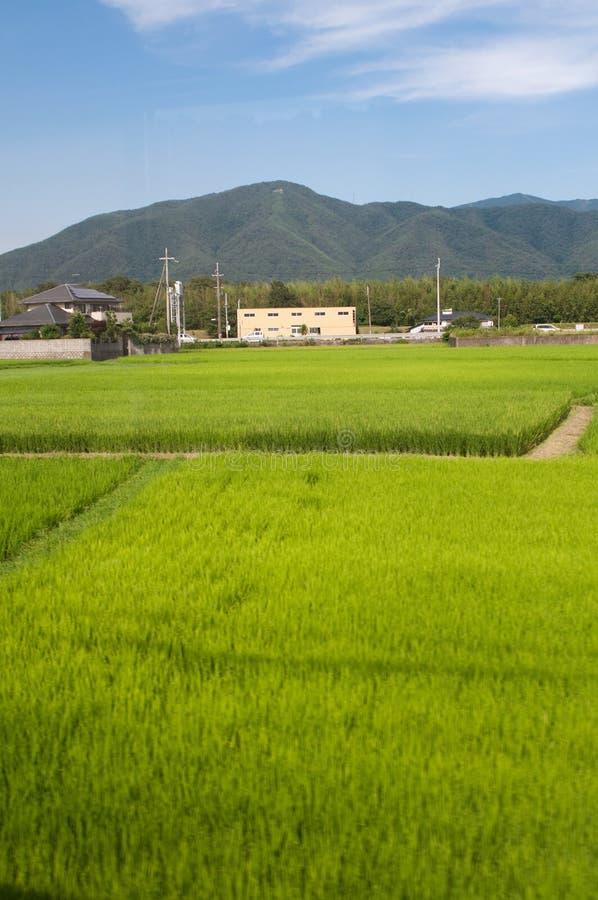 rolni ryż obraz royalty free