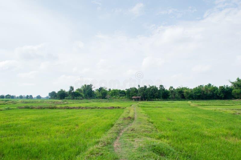 rolni zieleni ryż fotografia stock