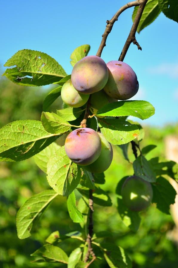 rolnictwa gałąź pojęcia owoc śliwkowy smakowity drzewo zdjęcia royalty free