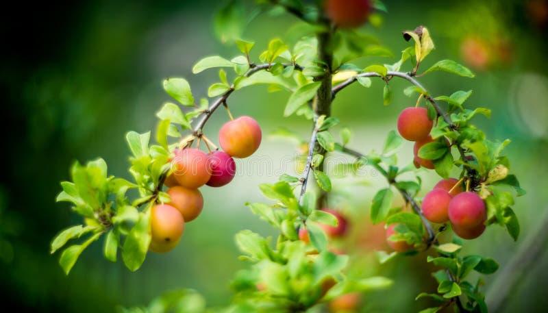 rolnictwa gałąź pojęcia owoc śliwkowy smakowity drzewo fotografia royalty free