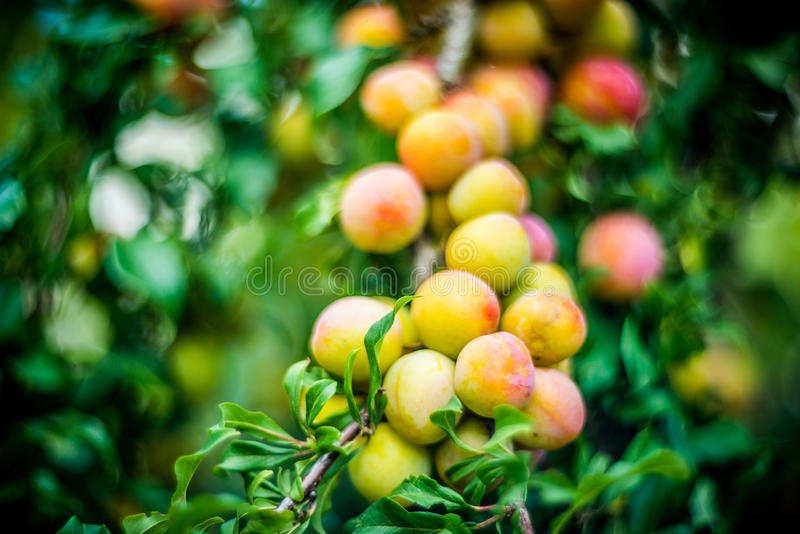 rolnictwa gałąź pojęcia owoc śliwkowy smakowity drzewo zdjęcie stock