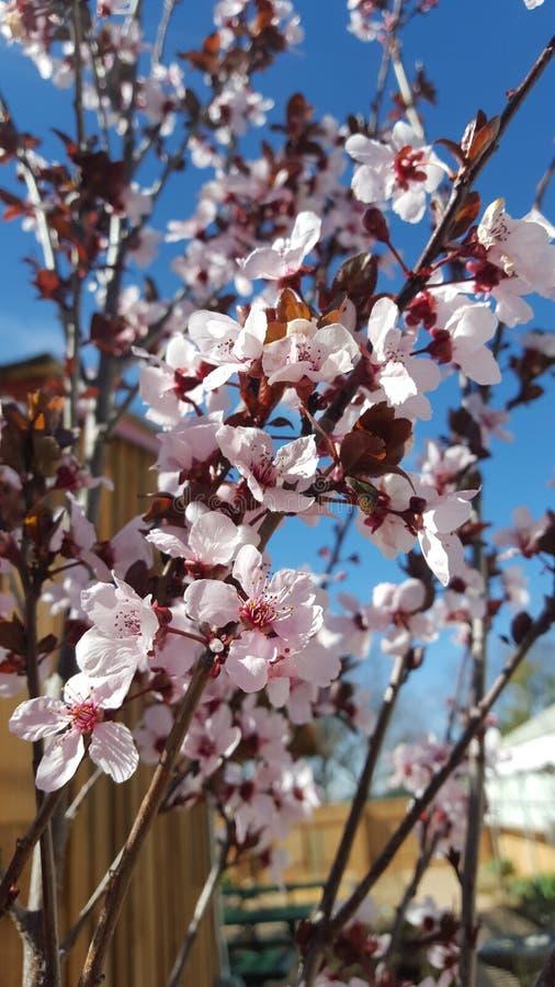rolnictwa gałąź pojęcia owoc śliwkowy smakowity drzewo zdjęcie royalty free
