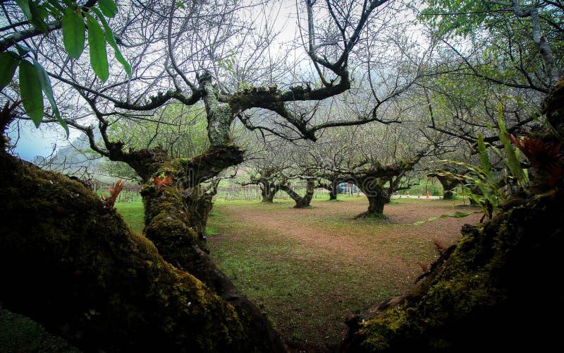 rolnictwa gałąź pojęcia owoc śliwkowy smakowity drzewo fotografia stock