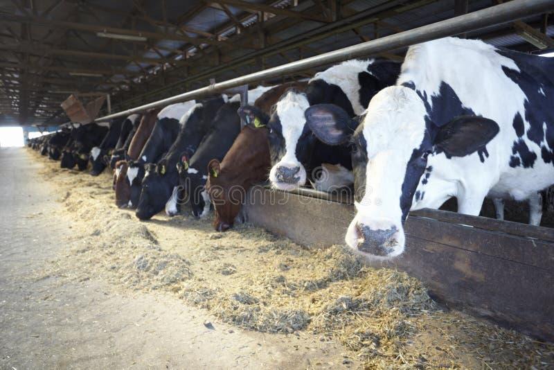 rolnictwa wołowaty krowy gospodarstwa rolnego mleko fotografia stock