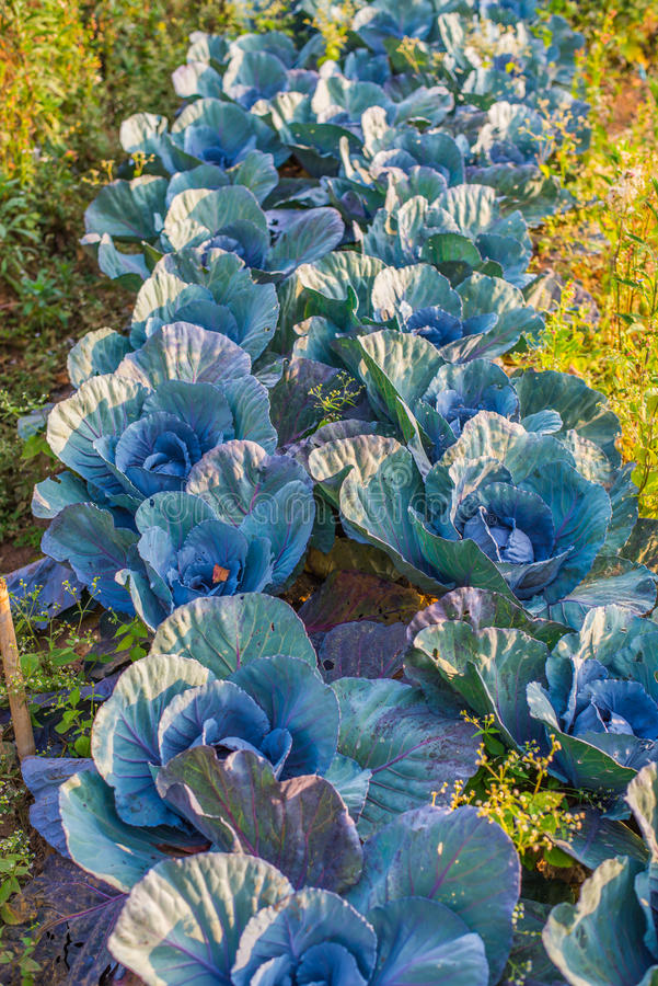 Rolnictwo czerwone kapusty zdjęcia stock