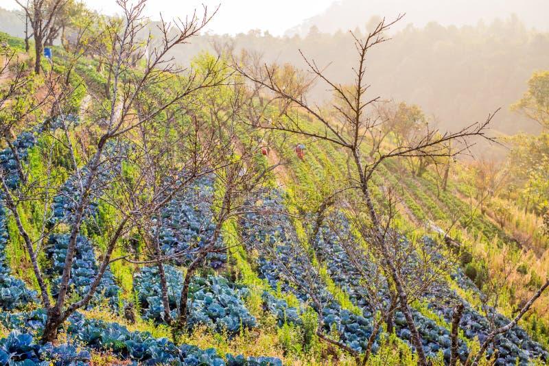 Rolnictwo czerwone kapusty przy polem fotografia stock