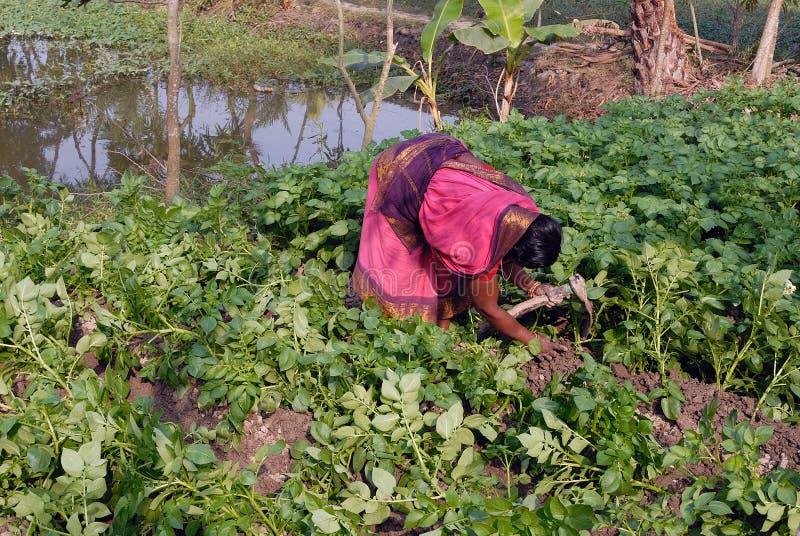 rolnictwo hindus zdjęcie royalty free