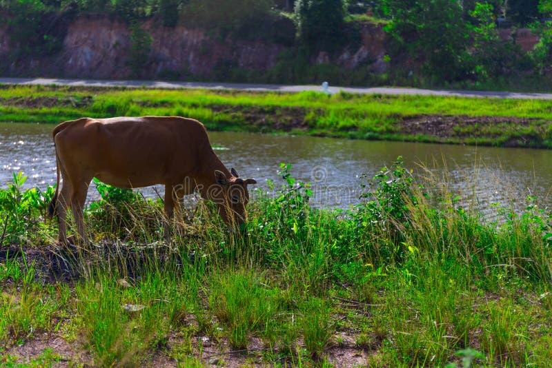 Rolnictwo krowa zdjęcia royalty free