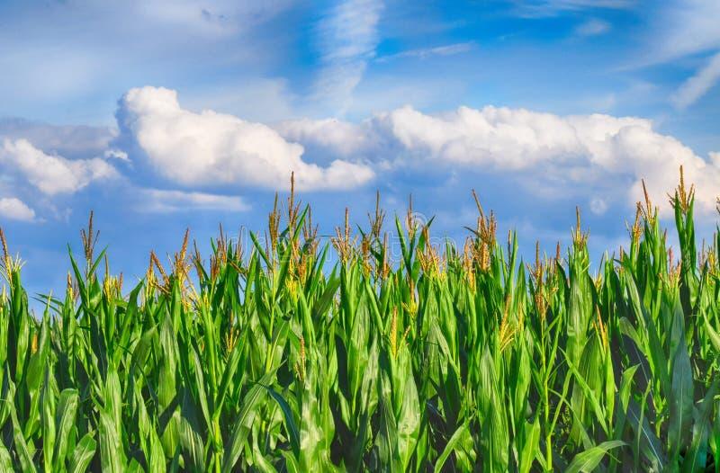Rolnictwo kukurudza, kukurydzy pole/ zdjęcia stock