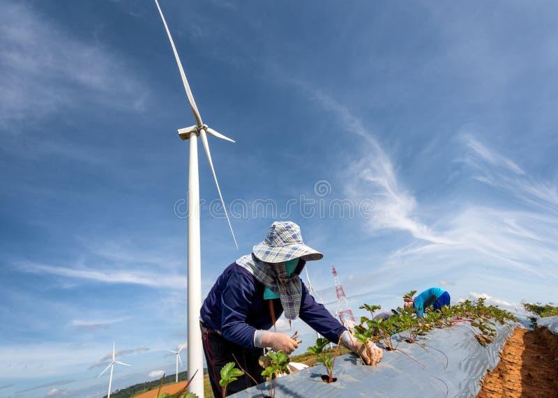 Rolnictwo rośliny narastająca truskawka w rolnej ziemi i czystym ener zdjęcia royalty free