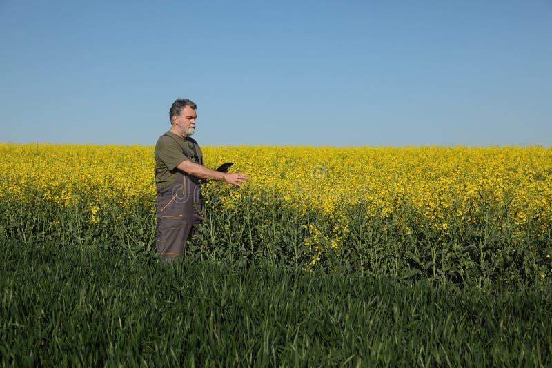 Rolnictwo, rolnik egzamininuje banatki i rapeseed rośliien w polu fotografia stock