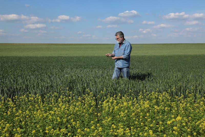 Rolnictwo, rolnik egzamininuje pszenicznego pole z rapeseed roślinami w przodzie zdjęcia stock