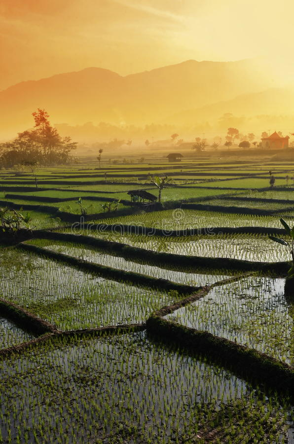 Rolnictwo ryż pola krajobraz zdjęcia stock