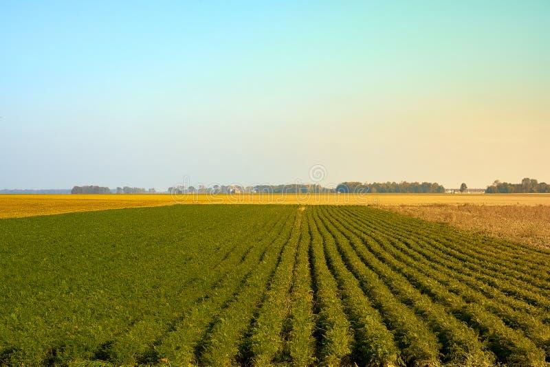 Rolnictwo zieleni pole z niebieskim niebem Wiejska natura w rolnej ziemi Słoma na łące Pszeniczny żółty złoty żniwo w lecie obrazy stock