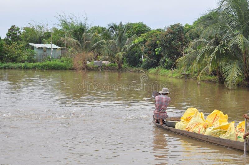 Rolnicy karmią pangsius suma w ich stawie w Mekong delcie Wietnam obraz stock