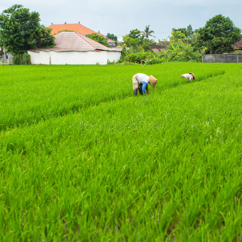 Rolnicy pracuje w ryżu polu blisko budy Natura obrazy stock