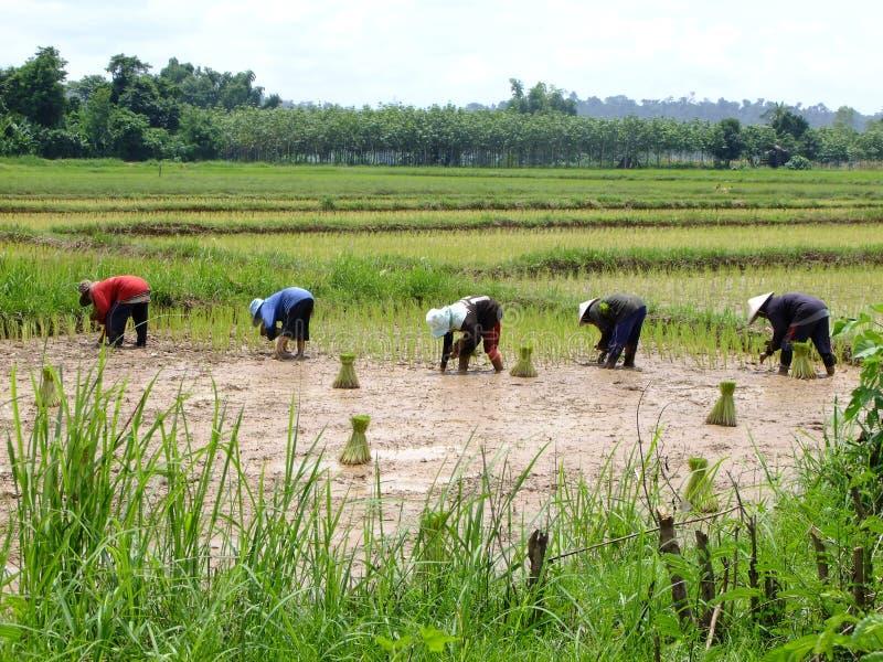 Rolnicy r ryżowy uprawiać ziemię zdjęcie stock