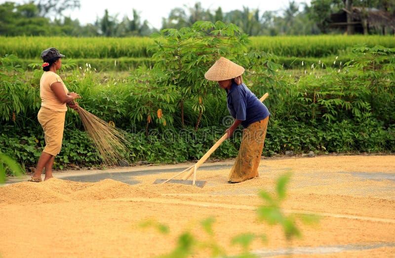 rolnicy ryżowi obrazy royalty free