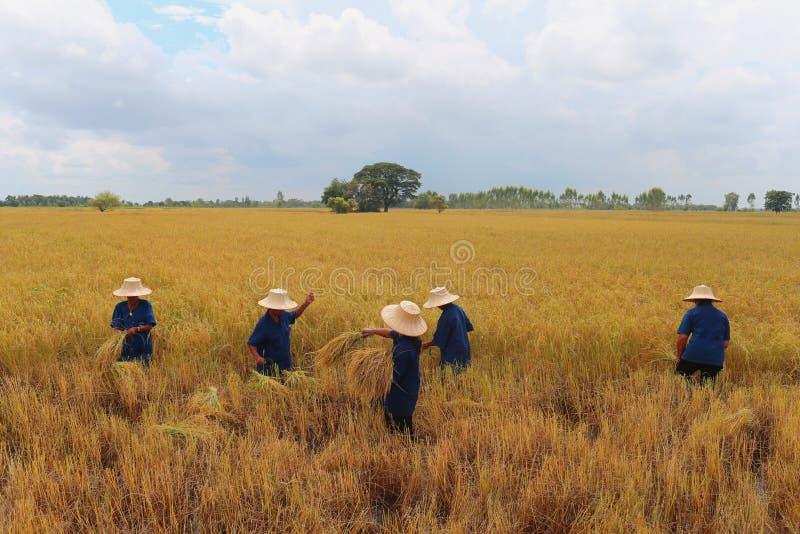 Rolnicy są żniwem zdjęcia stock