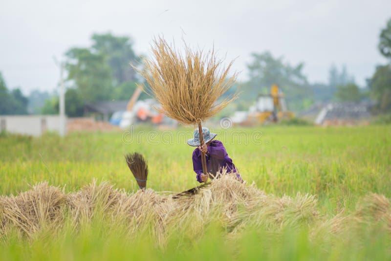 Rolnicy uderzają ryżowej rośliny dla utrzymania ziarna ryż w Lampang, fotografia royalty free