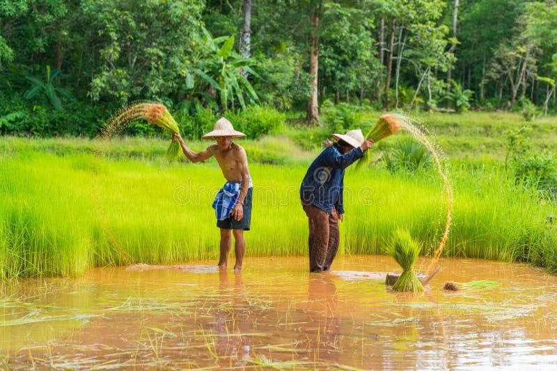 Rolnicy zbiera ryżowe flance replant w ryż uprawiają ziemię zdjęcie stock