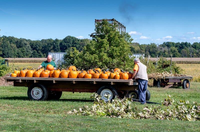 Rolnicy zbiera spadek banie dla Halloween fotografia royalty free