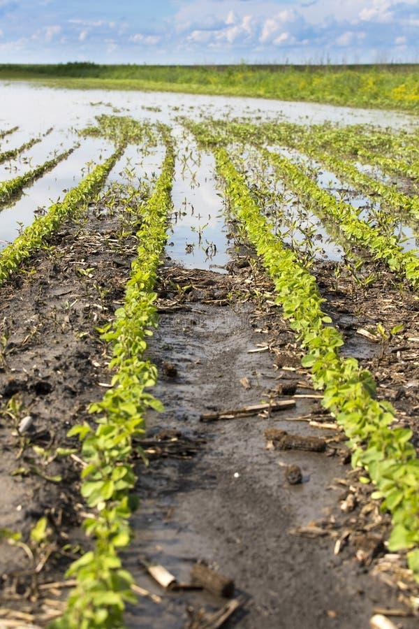 Rolnicza katastrofa, pole zalewać soj uprawy obraz stock