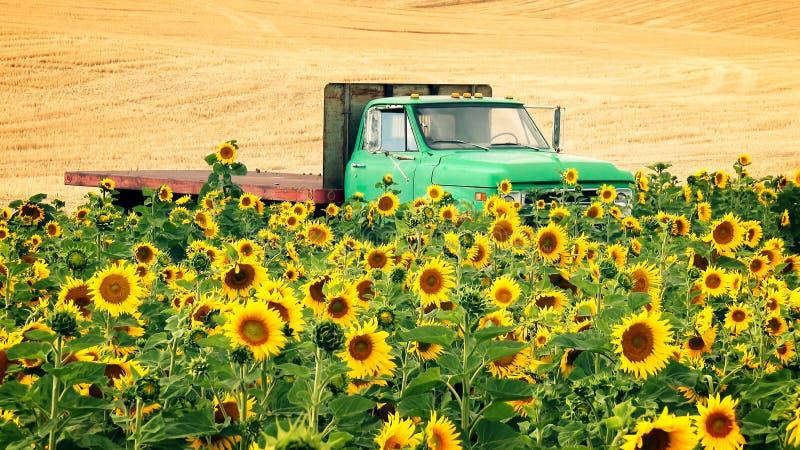 Rolnicza Płaskiego łóżka ciężarówka w polu słoneczniki fotografia royalty free