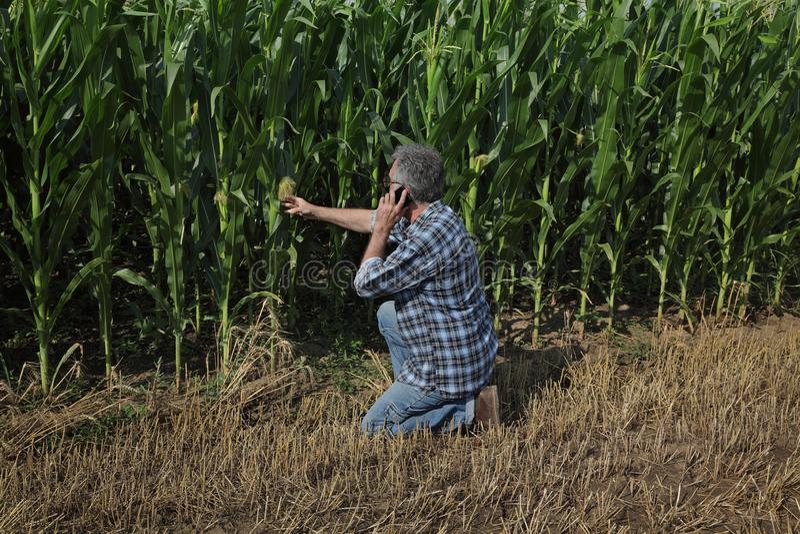 Rolnicza scena, rolnik egzamininuje zielonego kukurydzanego pole zdjęcie royalty free