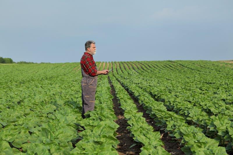 Rolnicza scena, rolnik w słonecznik śródpolnej używa pastylce fotografia stock