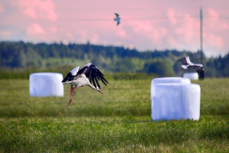 Rolniczy krajobraz z bocianami, siana próżniowy kocowanie obrazy royalty free