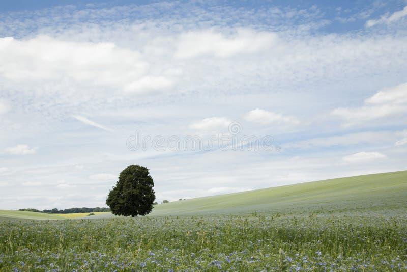 Rolniczy krajobraz z polem linseed obraz stock