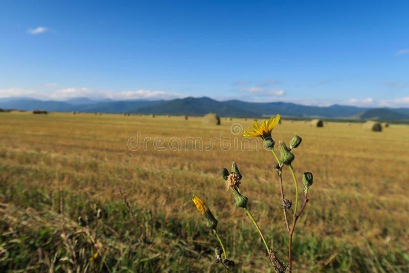 Rolniczy pole z haystacks Dandelion kwiat Altai, Rosja obraz stock