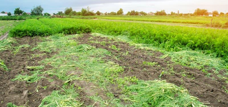 Rolniczy pole z stronniczo zbierającą marchwianą uprawą Sezonowa rolna praca Narastający życzliwi warzywa Rolnictwo zdjęcie stock